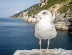 Sea Gull By The View Over The Coastline At Porto Venere, Porto Venere, Liguria, Italy