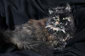 Thumbnail image of Tortoiseshell cat