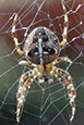 Thumbnail image of European Garden Spider