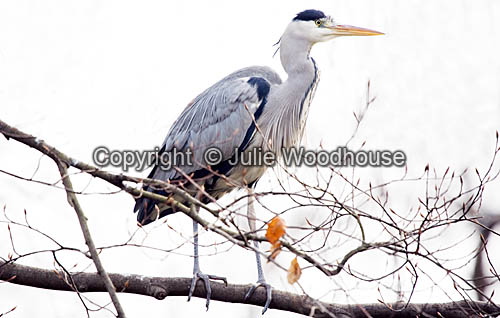 photo showing Heron