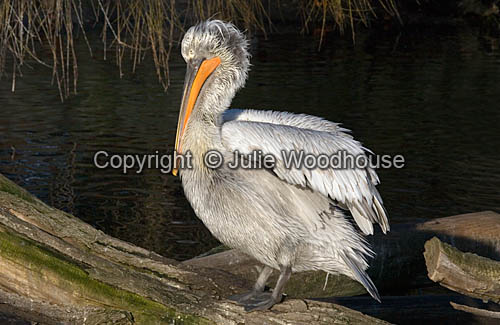 photo showing Dalmatian Pelican (Pelecanus Crispus)