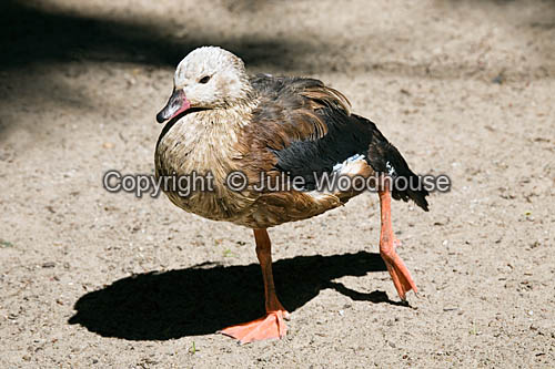 photo showing Orinoco Goose - Neochen Jubata