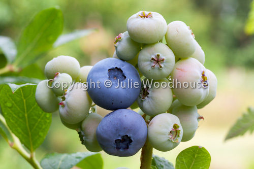 photo showing Blueberries On Bush