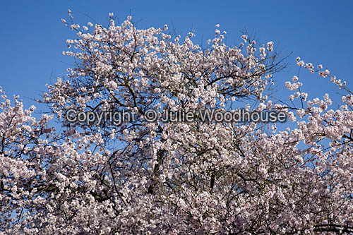 photo showing Cherry Tree Blossom