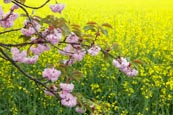 Cherry Blossom Against Rapeseed