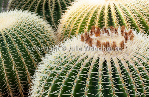 photo showing Echinocactus Grusonii, Golden Barrel Cactus