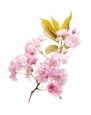 Thumbnail image of Cherry Blossom