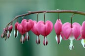 Thumbnail image of Bleeding Hearts (Dicentra spectabilis)