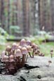 Coprinellus Disseminatus -Fairies Bonnets