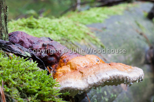 photo showing Fomitopsis Pinicola - Red Banded Polypore